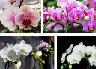 Harga Bunga Anggrek Bulan Informasi Januari 2020