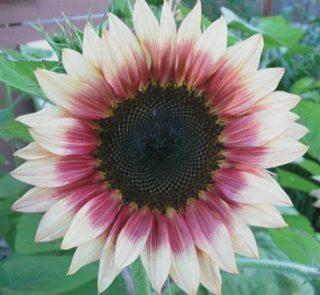harga bunga matahari per batang