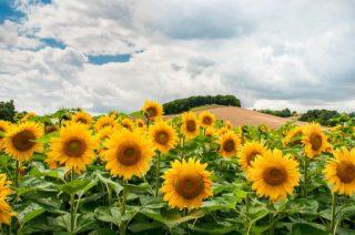 harga bunga matahari per tangakai di jogja dan rawa belong