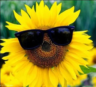 harga bunga matahari potong