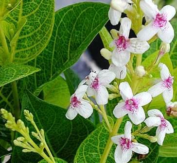 harga bunga melati jepang (bunga melati mini)
