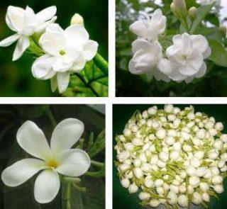 harga bunga melati pengantin (untuk siraman)