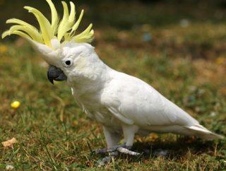 Gambar Burung Kakak Tua Jambul Kuning