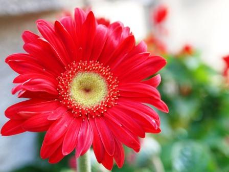 harga bunga aster merah