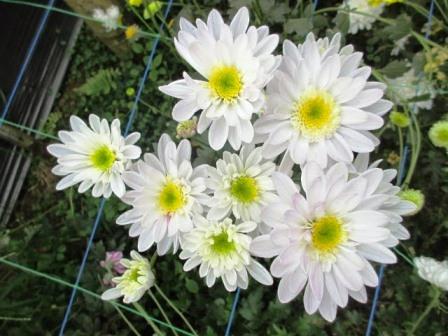 harga bunga aster monalisa