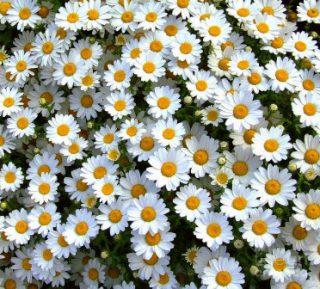 harga bunga aster putih