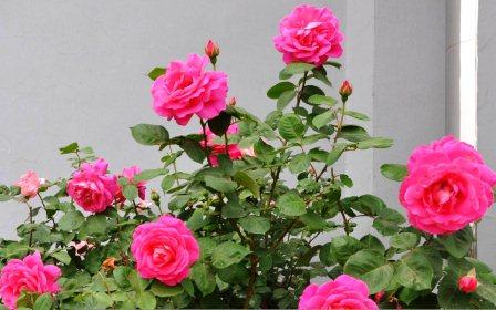 harga bunga mawar hidup