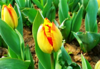 harga bunga tulip kuning