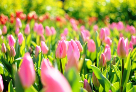 harga bunga tulip pink atau merah muda
