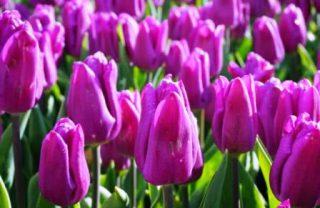harga bunga tulip ungu