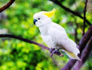 harga burung kakatua jambul kuning Anakan