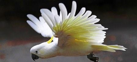 harga burung kakatua jambul kuning di jakarta
