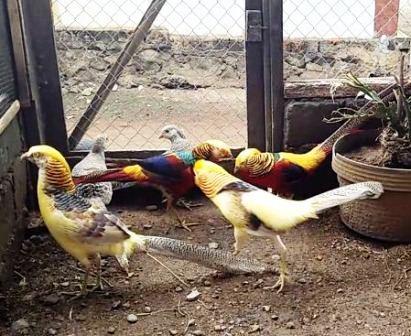 Harga Ayam Tibet Anakan