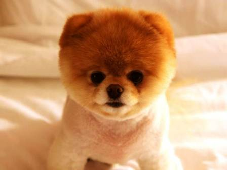 harga anjing pomeranian mini (mini pom)