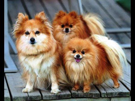 harga anjing pomeranian murah