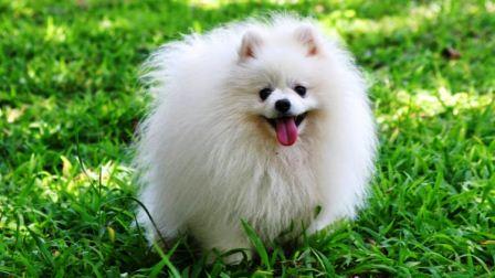 harga anjing pomeranian