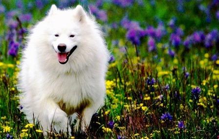 harga anjing samoyed dibandung