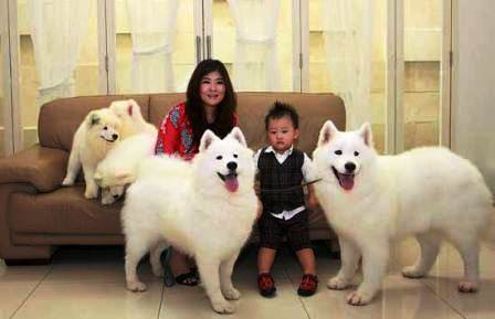 harga anjing samoyed