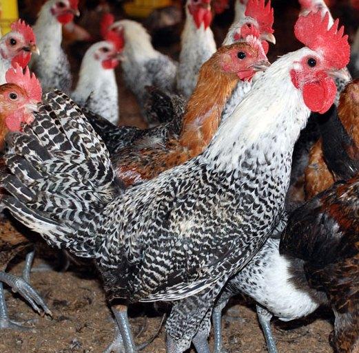 harga ayam arab jantan