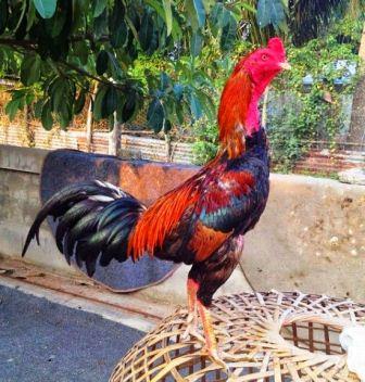 harga ayam birma super bangkok