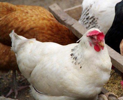 harga ayam broiler organik