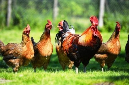 harga ayam kampung hari ini