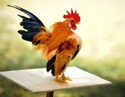 harga ayam kate serama