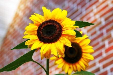 harga biji bunga matahari