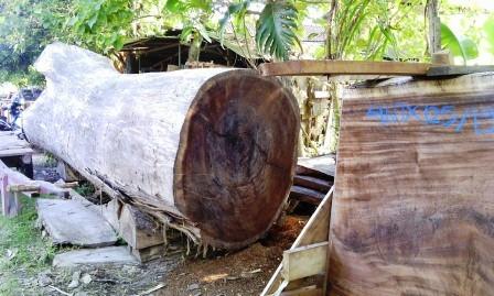 harga kayu trembesi per kubik