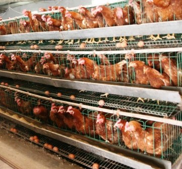 Harga Ayam Petelur Siap Telur
