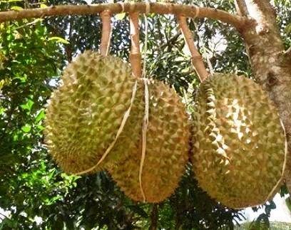 Hasil Buah Durian Bawor