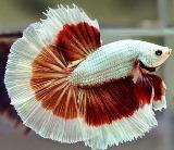 Gambar 1. Harga Ikan Cupang Halmoon