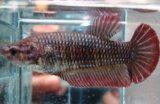 Gambar 6. Harga Ikan Cupang Giant
