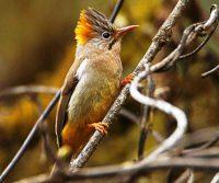 Harga Burung Yuhina