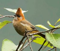Harga Burung Yuhina Gacor