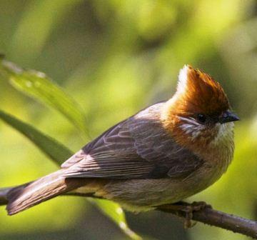 Harga Burung Yuhina Kalimantan