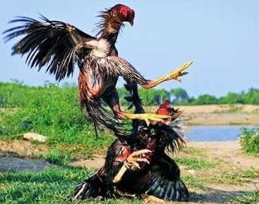 Harga Ayam Jago Birma