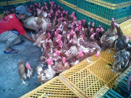 Harga Ayam Merah Per Ekor, Mulai dari IDR 35.000