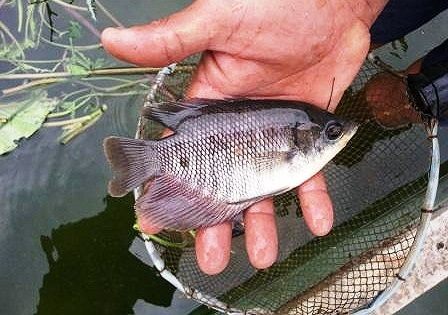 Harga Bibit Ikan Mujair
