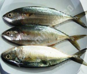 Harga Ikan Kembung Banjar