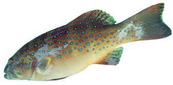 Harga Ikan Kerapu Bintang