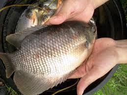 Harga Ikan Mujair Sekilo (Per kg)