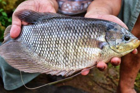 Harga Ikan Mujair