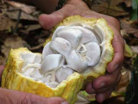 Harga Kakao Basah Tingkat Petani