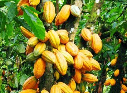 Harga Kakao