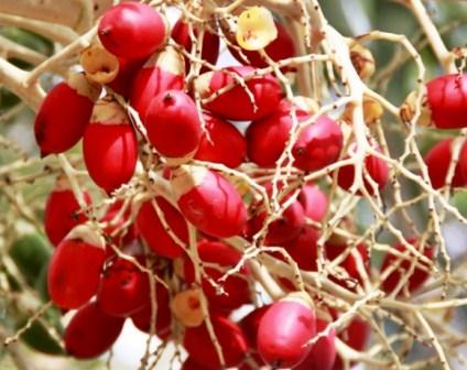 Harga Pinang Merah