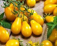 Harga Tomat Peer
