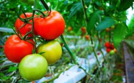 Harga Tomat