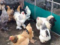 Harga Ayam Brahma Indukan