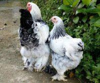 Harga Ayam Brahma Sepasang